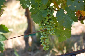 Blog nappa grapes