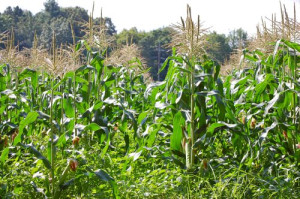 blog corn field