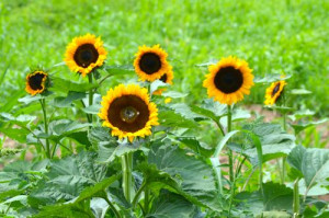 blog sunflowers