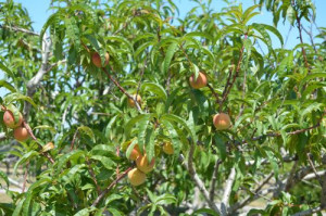 blog peach